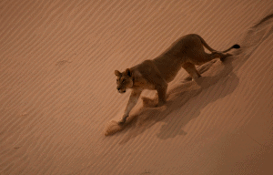Vanishing Kings - Lions of the Namib