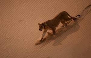 Vanishing Kings - Lions of the Namib